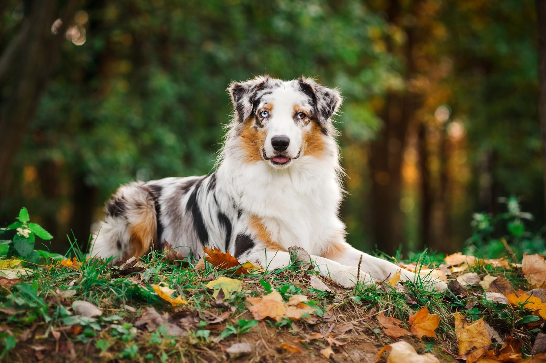 Australian Shepherd posando en otoño