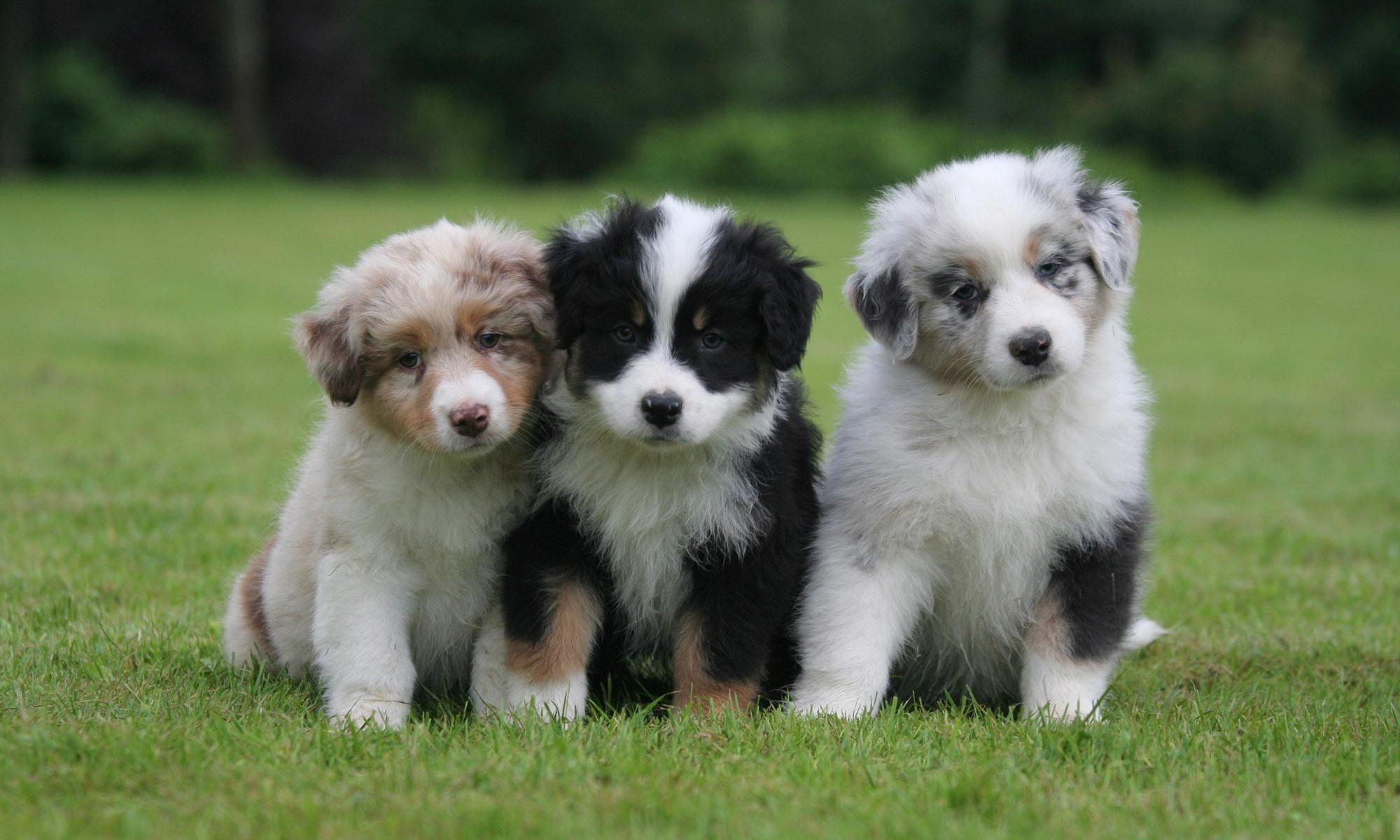 Tres cachorros Australian Shepherd